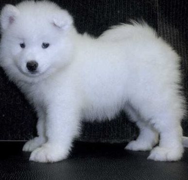wonderful samoyed puppies