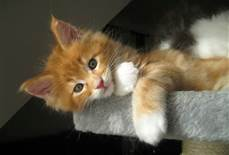 maine coon kittens for free
