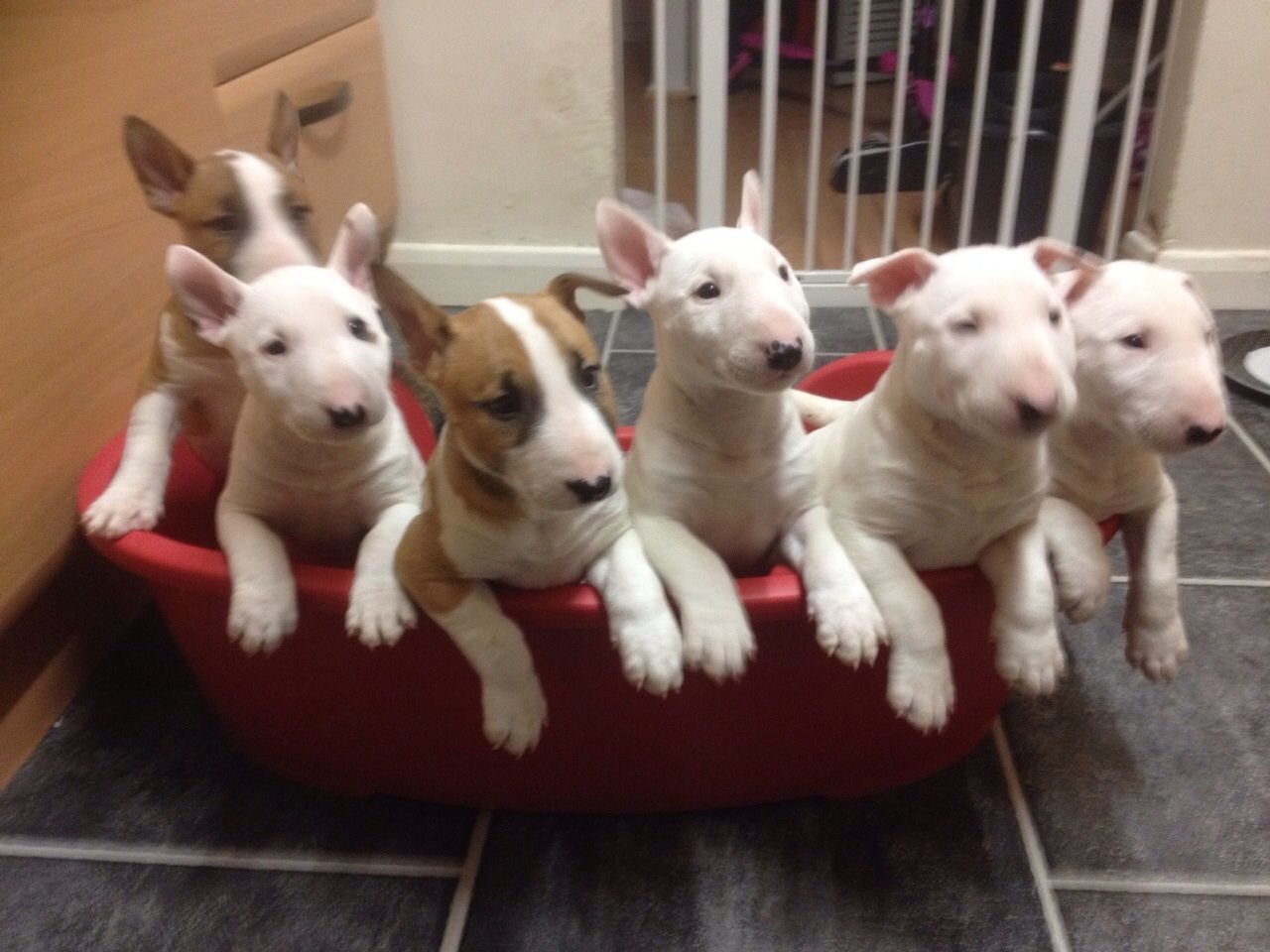 Cute and Adoptable Bull Terrier for adoption