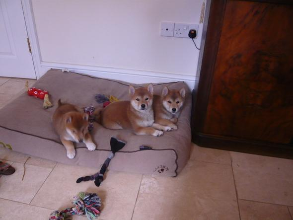 Male and Female Shiba Inu puppies for adoption,