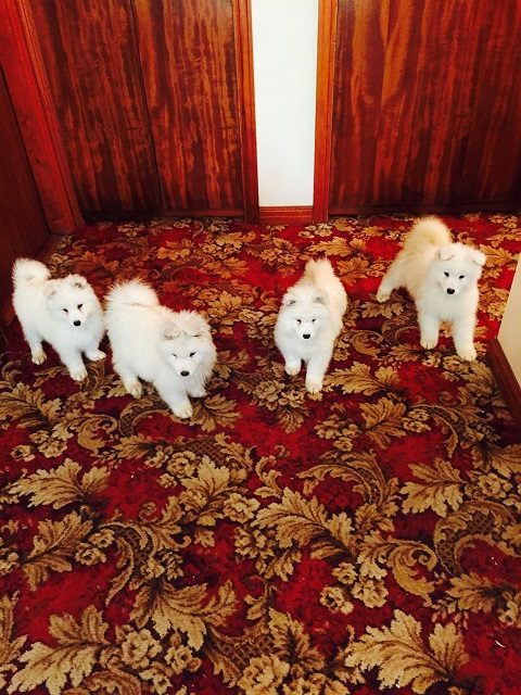 Male and Female Samoyed puppies for adoption
