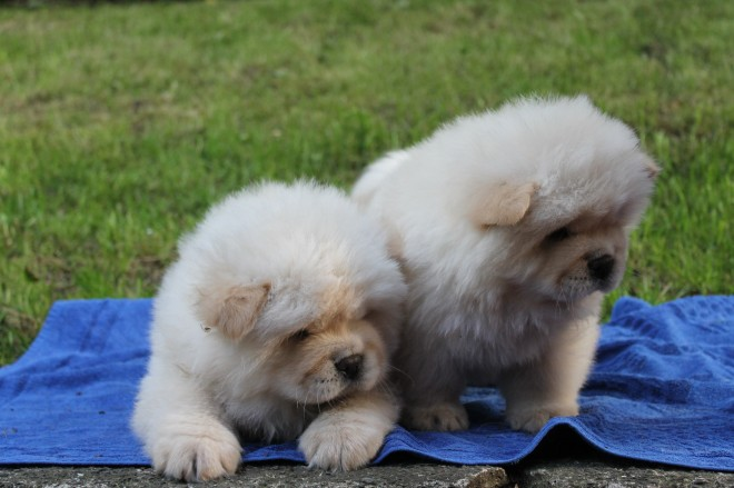 cream boy and girl Chow Chow puppies available