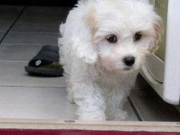 Maltipoo X Jack Russell Puppies  available