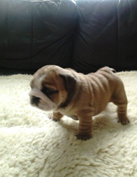 Top Quality English bulldog Puppies