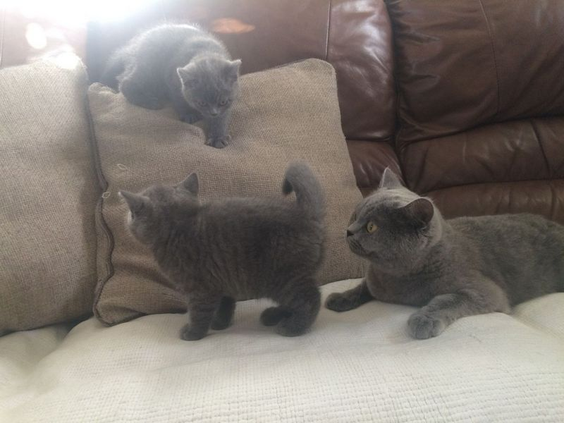 11 weeks old old blue British shorthair Kittens