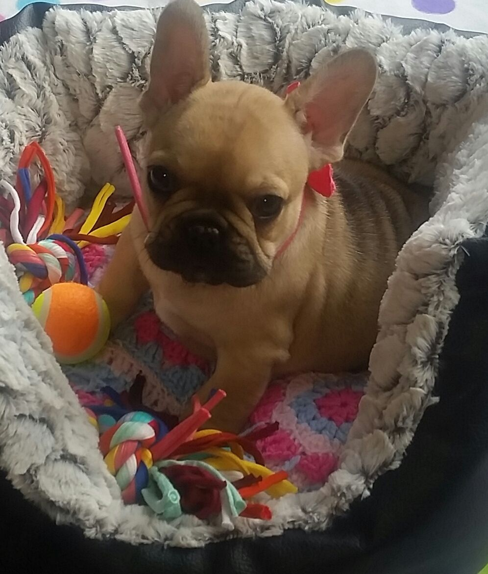 They sell puppies french bulldog fawn