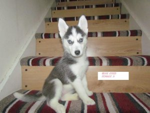 Gorgeous black & white husky puppies Rea gorgeous black & white husky pup now