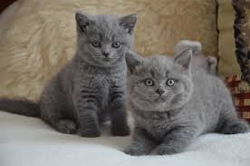 Beautiful British Short hair Kittens
