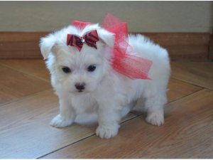 Pure Maltese Puppies For Sale