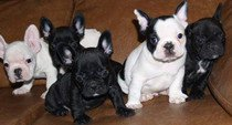 available teacup French Bulldog puppies need urgent home
