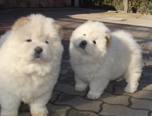 Chow chow puppies for loving home