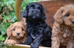Charming Cavoodle Puppies