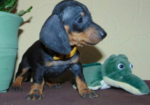 Miniature Dachshund puppies For Sale Lovely Puppies Now Coming Up