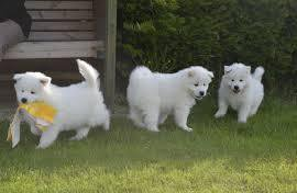 Two Adorable Samoyed Puppies For Sale Now Ready Now For Good Homes
